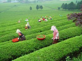plantacion te verde