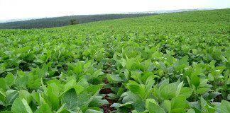 plantación de soja