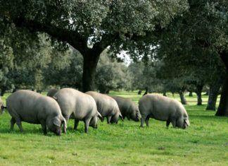 cerdo iberico de bellota