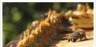 propolis propoleo