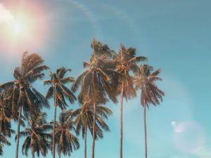 palmeras con cocos