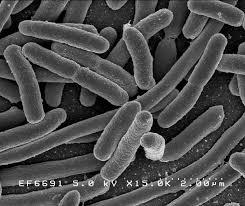 flora or microbiota